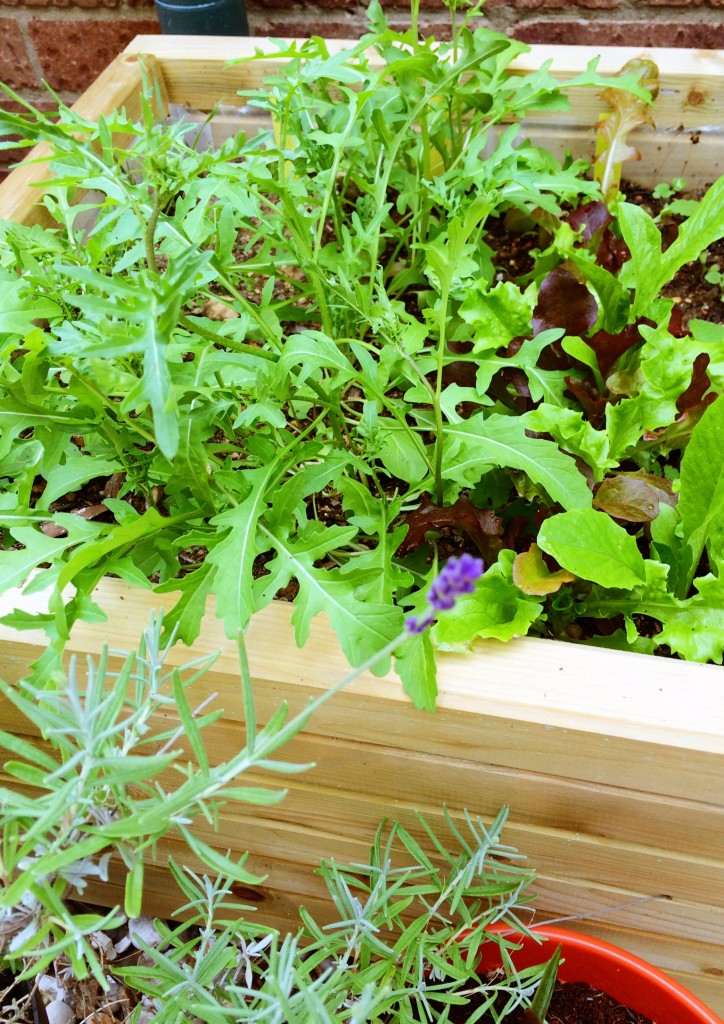 one of our two small raised beds – this one holds the mixed salad leaves