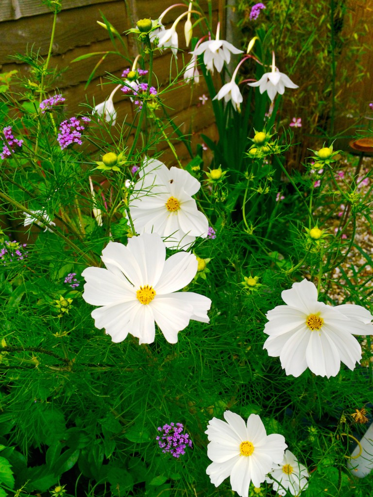 cosmos and verbena being very tall