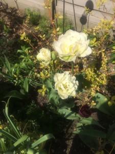 blowsy tulips