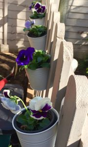 pots of pansies along Betsy's fence